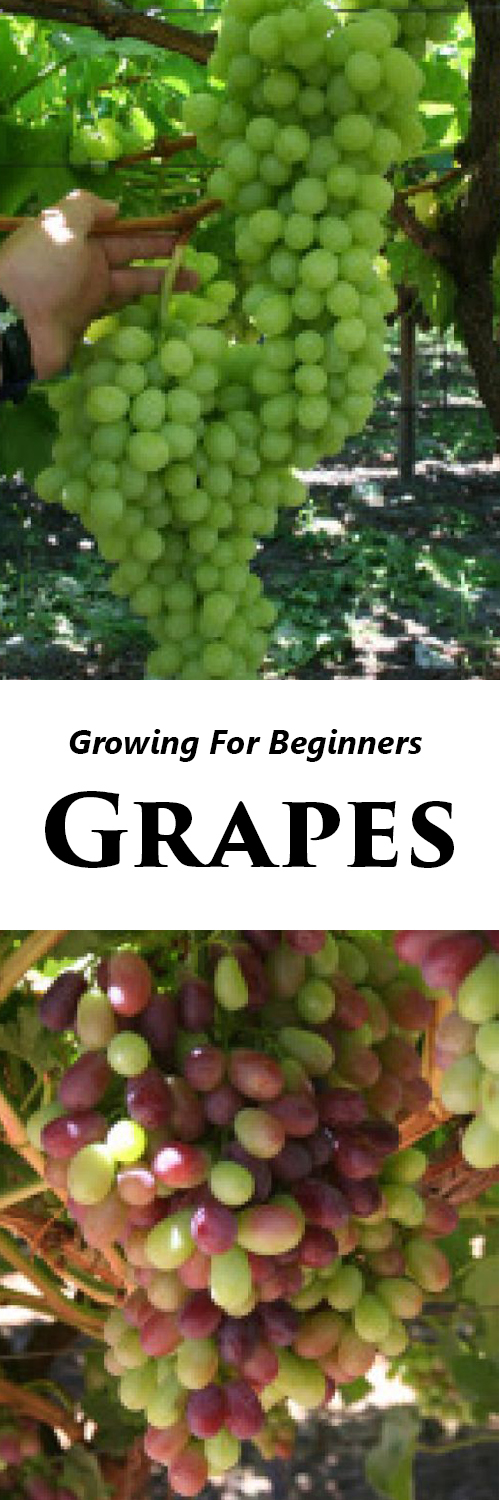 growing grapes at home beginners tutorial